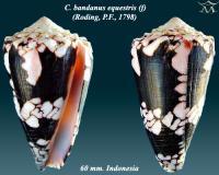 Conus  bandanus equestris