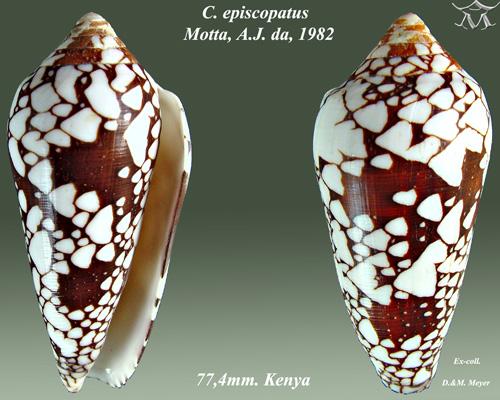 Conus episcopatus