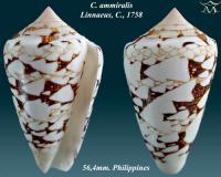 Conus ammiralis