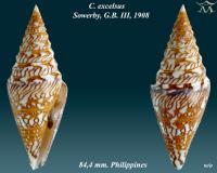 Conus excelsus