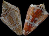 C.mappa&cedonulli
