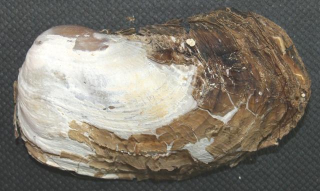 Entodesma navicula (Lyonsiidae)