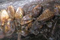 Dreissena bugensis (дельта Днепра)