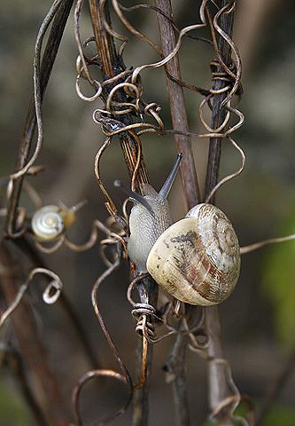 Eobania vermiculata на диком винограде