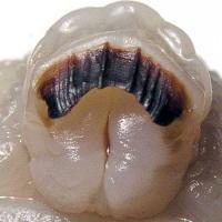 Челюсть Helix pomatia