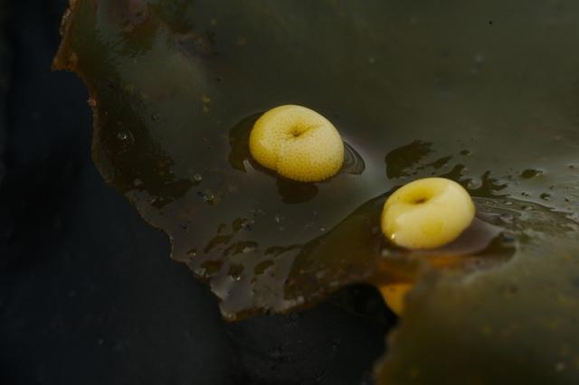 Кладки Epheria vincta