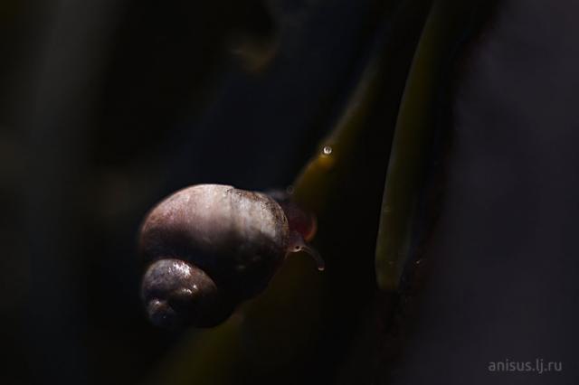 Littorina saxatilis
