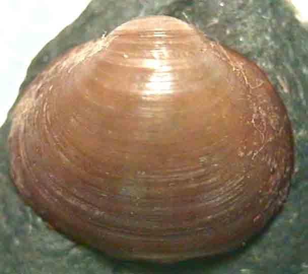 Sphaerium corneum.jpg
