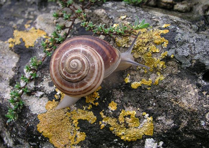 eobania_vermiculata.jpg