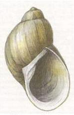 Прудовик фулва (Peregriana fulva).jpg