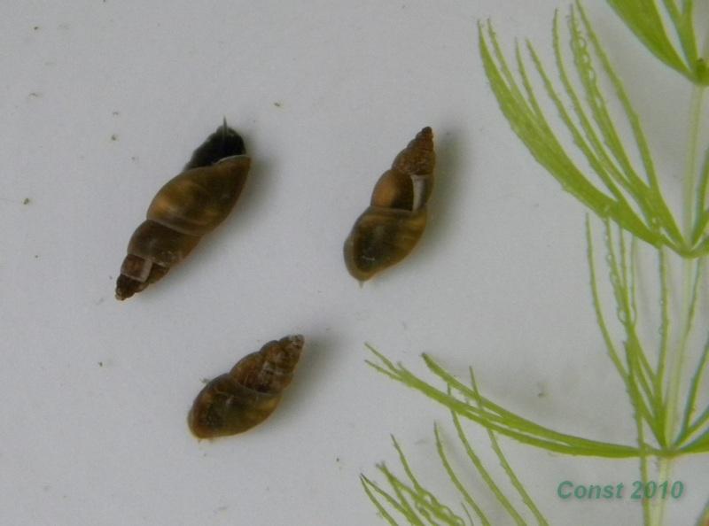 Aenigmomphiscola europaea.jpg
