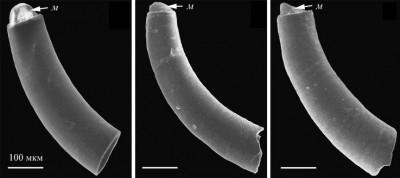 Caecidae.jpg