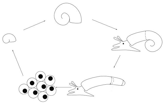 Caecidae2.jpg