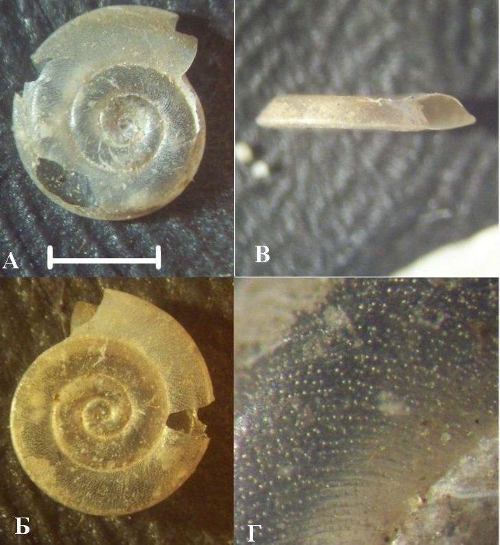 A. vortex (Новосибирское вдхр.).jpg