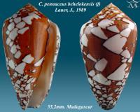 Conus pennaceus behelokensis