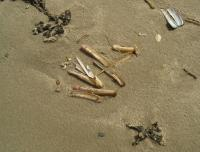 Раковины Ensis americanus на берегу Северного моря