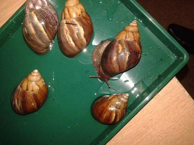 Помогите с определением вида  Род однозначно (Achatina),а вот вид не могу определить