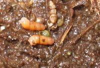 Наземно-морские Truncatella под наносами зостеры (Кинбурнская коса)